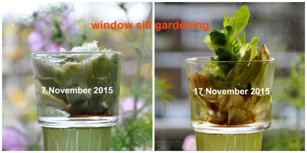 FUJI BEW ORIG Z - digit onbew. VIIIZ - 07-11-15 and 17-11-15 - Windowsill lettuce growing in ten days